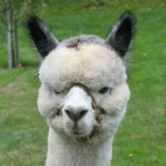 Skyline's Questar Alpaca